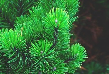 are pine needles poisonous to fish