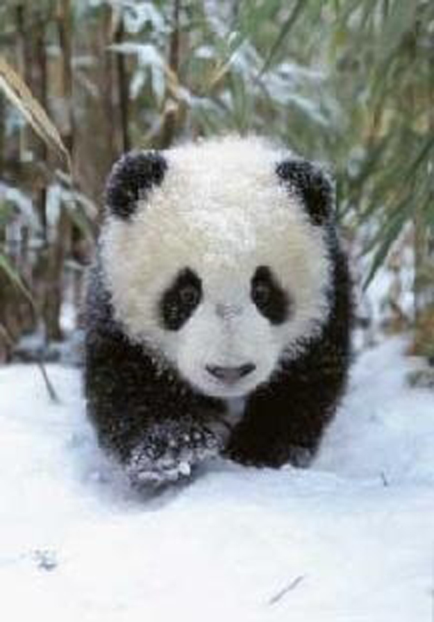 Plus, snow's not just for humans. Pandas love snow, and look adorable in it.