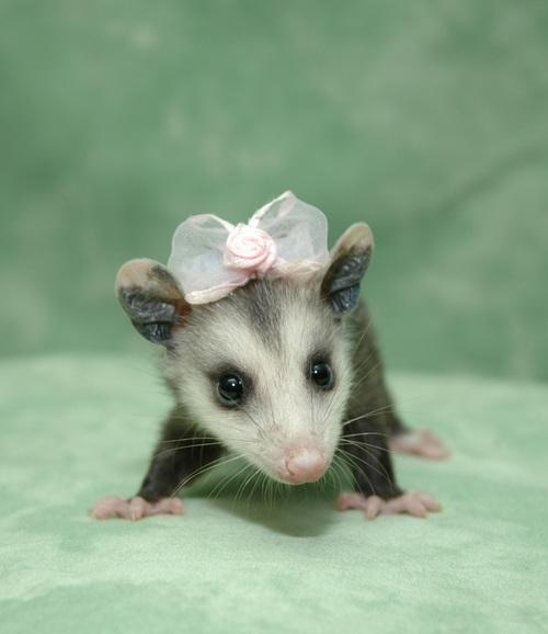 I am a cute possum.