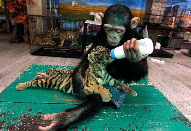 Chimp feeding Tiger Cub