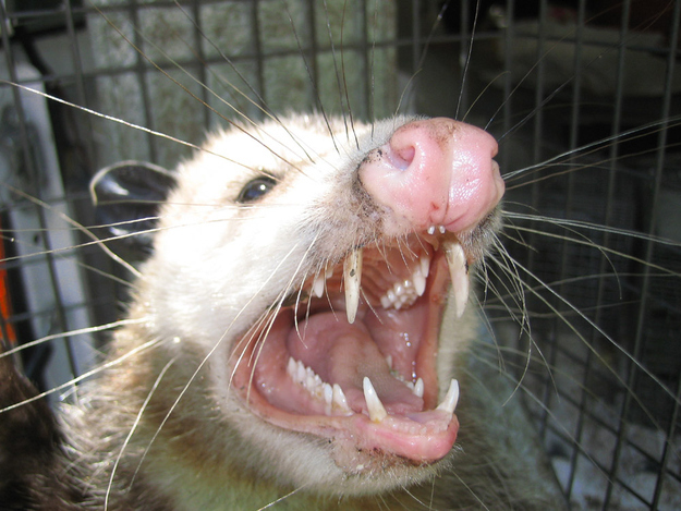 I am NOT a cute possum.