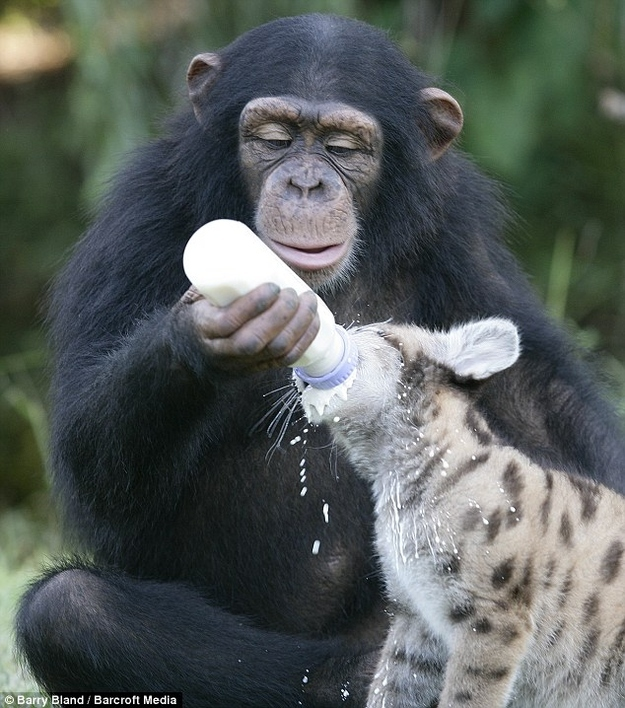 Chimp feeding Baby Hyena