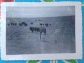 These are (according to the inscription on the back) photos of buffalo taken in Fort Collins in the 1940's and 50's.