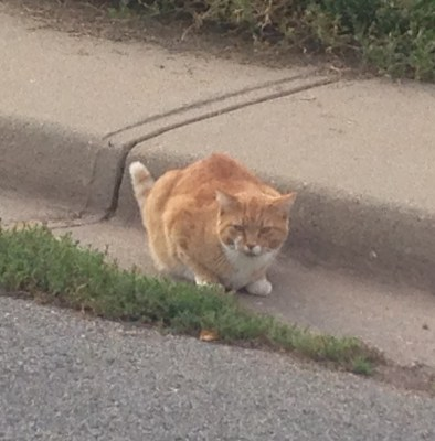 """This orange cat is so badass. I walked right by him with Blue and he was all, """"What? I ain't moving for you."""""""