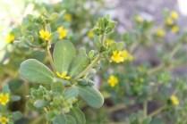 Beldroega (Portulaca oleracea)