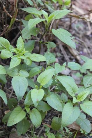 Picão-preto bem desenvolvido e sem floração: solo fértil ©Sabor de Fazenda