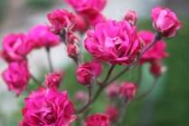 Mini-rosa (Rosa chinensis var. semperflorens)