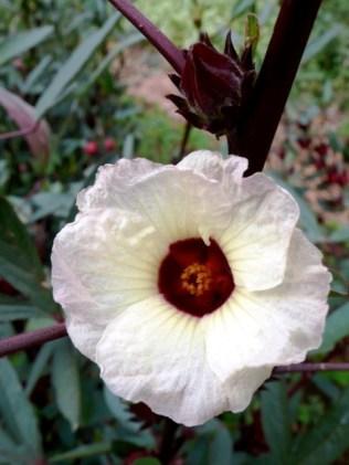 Flor do hibisco (Hibiscus sabdariffa) ©Sabor de Fazenda
