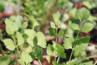 Folhas de Pimpinella anisum