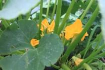 Flores da abobrinha redonda
