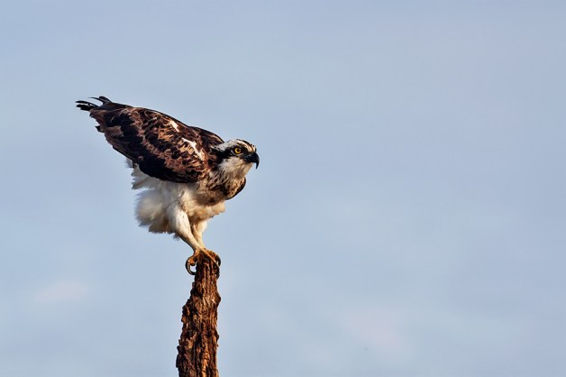 Osprey gets ready to fly!