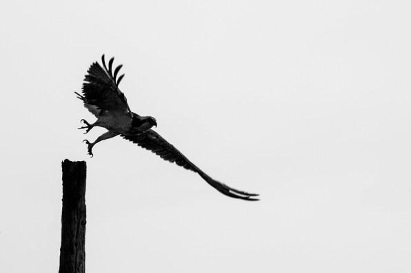 Osprey takes off...