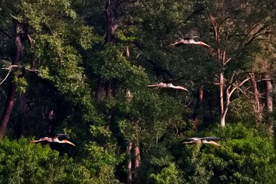 Squadron of Painted Storks