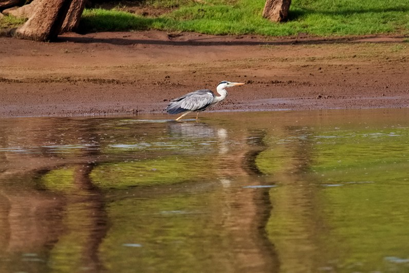 Sub-adult Grey Heron