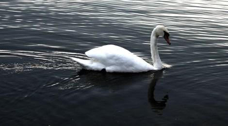The Bathing Beauty Swan