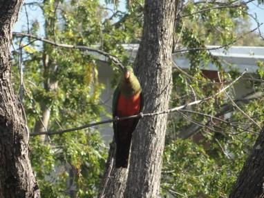 Stalker (papagaio rei australiano fêmea - valeu Heitor Cavalcanti de Albuquerque)