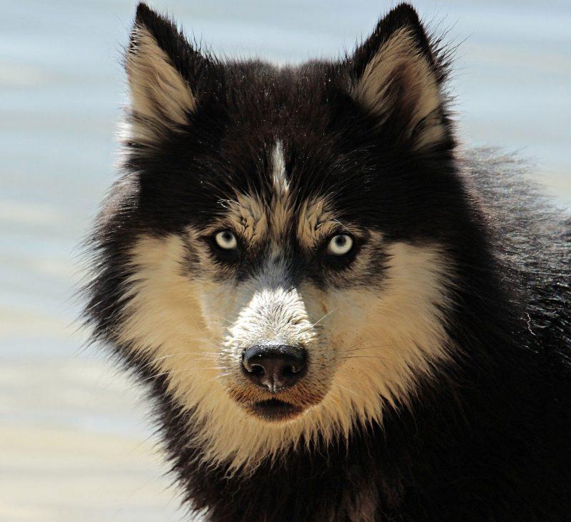 husky, dog, pet-3380548.jpg