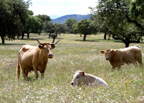 Plantaciones del árbol del Pistacho en Extremadura en la actualidad
