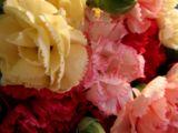 wpid-160px-Mini-Carnations-5632-2013-06-28-18-07.jpg