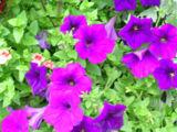 wpid-160px-Purple-petunias-3044-2013-06-28-18-07.jpg