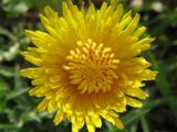 wpid-160px-Sunny-Dandelion-7892-2013-06-28-18-07.jpg