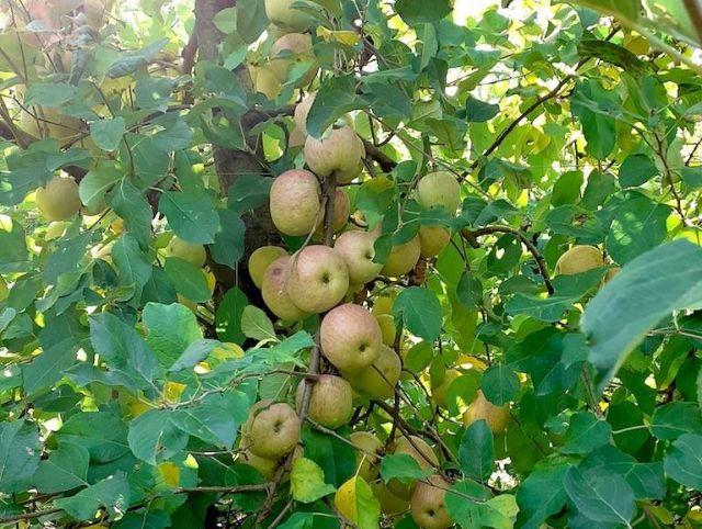 Un peccato da condividere: le mele dei Poderi Sartoris