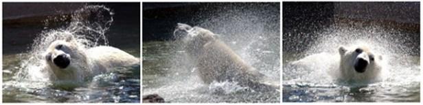 Polar Bear Triptich