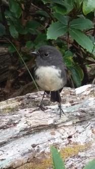 Stewart Island Robin on Ulva Island