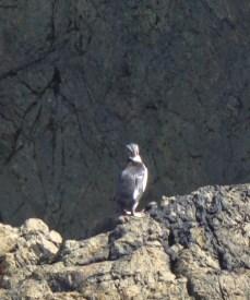 Crested Fiordland Penguin