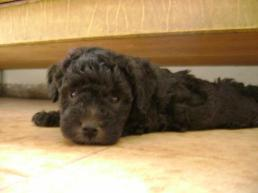 1269298992_82225523_1-Fotos-de--caniches-toy-grises-negros-o-blancos