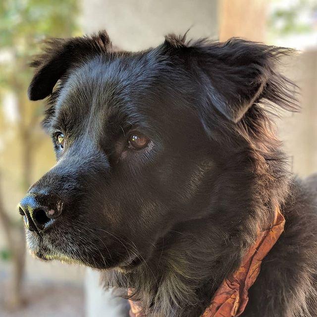 "This is my ""intruder alert"" face.  #chowtriever #chowchow #retriever #flatcoatedretriever #mutt #muttsofinstagram #dogsofinstagram #petsofinstagram #petphotography #dog #pet #shelterdog #rescuedog #shelterdogsofinstagram #rescuedogsofinstagram #pixel2xlphotography #pixel2xlportrait #nofilter"