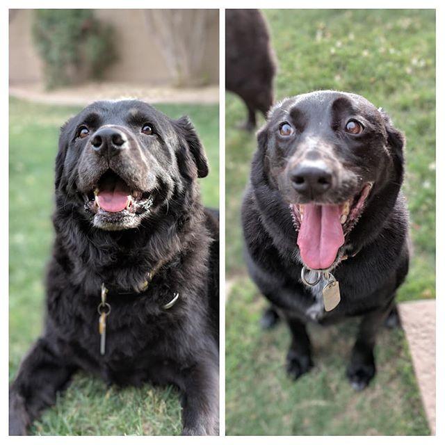 My happy puppies.  #chowtriever #chowchow #flatcoatedretriever #retriever #borador #boradorsofinstagram #bordercollie #labrador #labradorsofinstagram #bordercolliesofinstagram #doggo #dogsofinstagram #mutt #muttsofinstagram #shelterdogsofinstagram #shelterdog #rescuedog #rescuedogsofinstagram #dog #petphotography #petsofinstagram #pixel2portrait #pixel2xlphotography #pet
