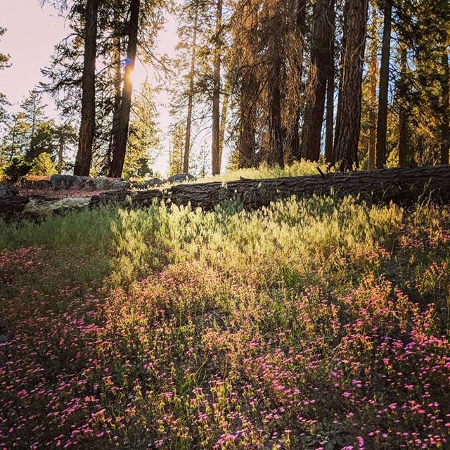 A pretty little meadow with pink flowers, on the trail going to the Kaweah River waterfall. These meadows are protected and the rangers make sure they contain only native plant species.  #meadow #pretty #sequoianationalpark #nationalparks #goldenhour #amateurphotographer #amateurphotography #photographer #photography #pixel2xlphotography #naturephotography