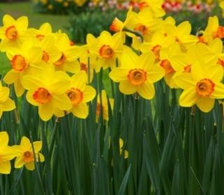 daffodil_flowers_189916