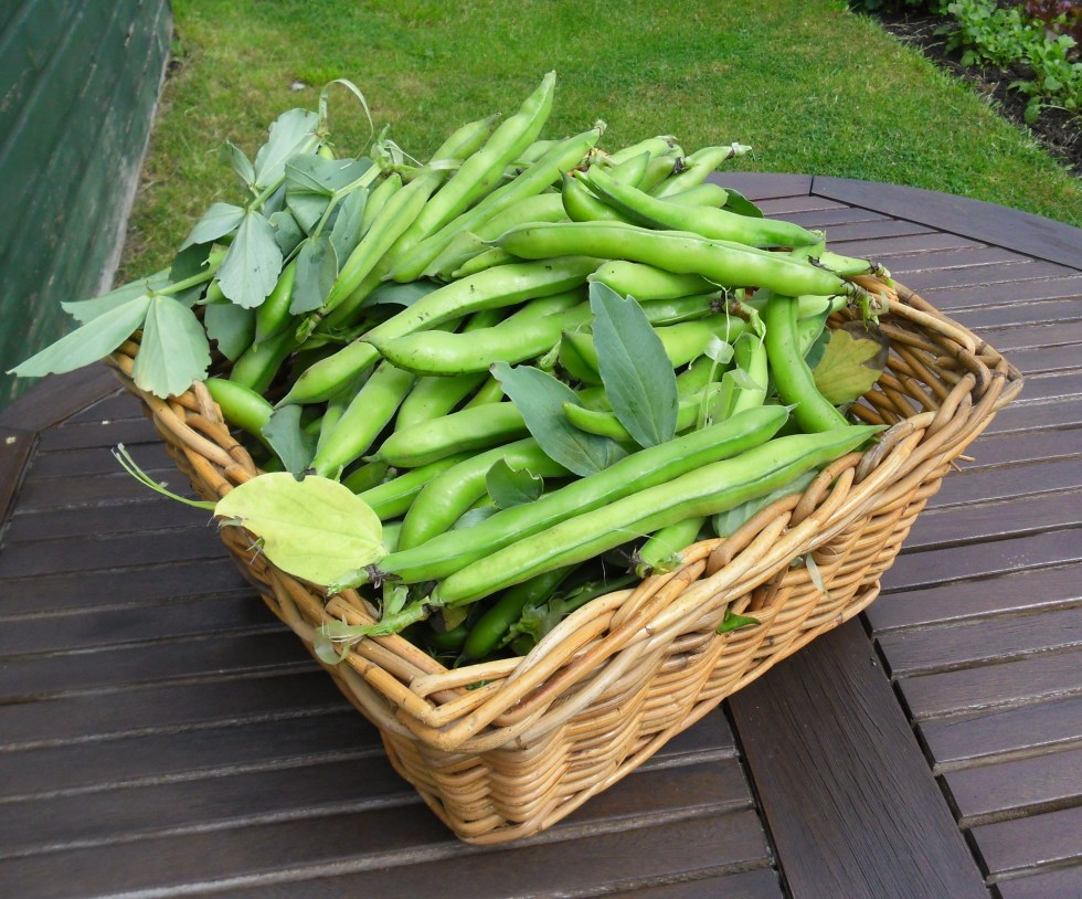broad beans2