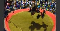 ponedera_gallos_4