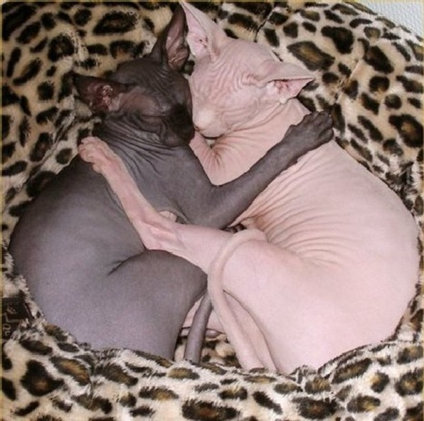 sphynx_cats_6a