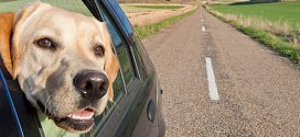 chien voiture maroc