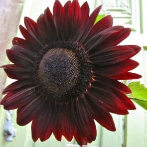 velvet-queen-tournesol-chocolat-seeds
