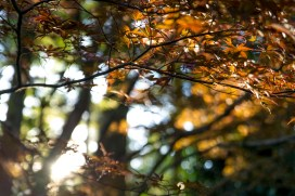 Sun-dappled maple