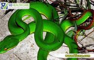 Hướng dẫn sơ cứu khi bị rắn lục đuôi đỏ cắn
