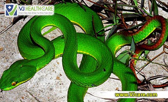 sơ cứu rắn cắn sơ cứu rắn lục cắn