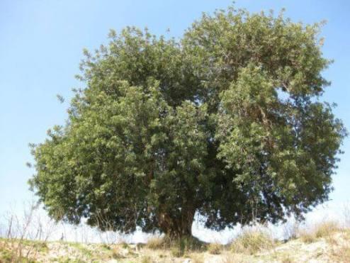 Рожковое дерево на Сицилии