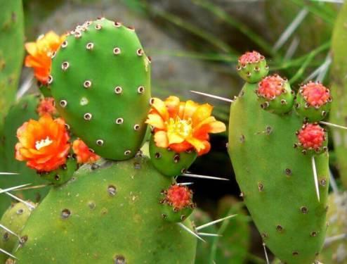 Плоды кактусов или fichi d'India
