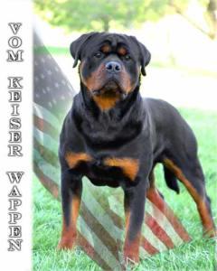 photo of Rottweiler stud Pasha Earl Antonius