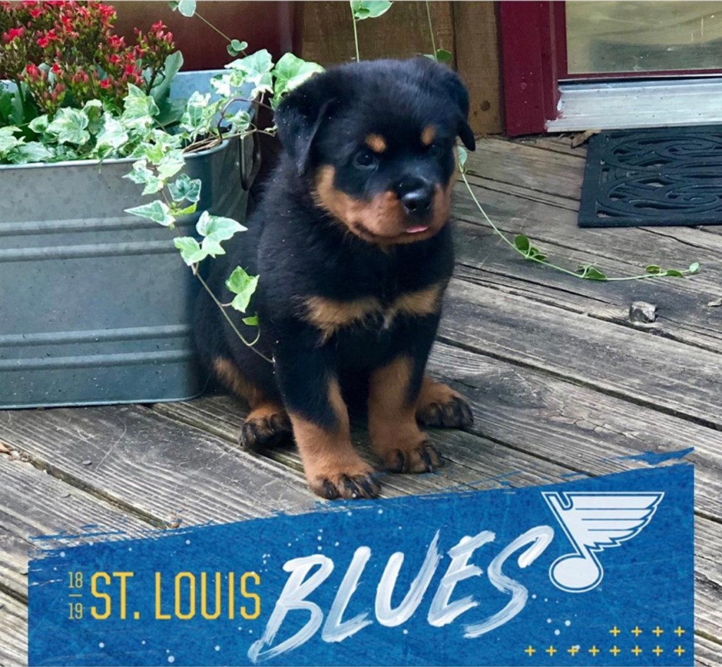 Male Rottweiler Puppy for sale.