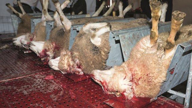 Geen verbod op ongezond vlees van onverdoofd geslachte dieren in onze scholen
