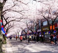 Du lịch Hàn Quốc tháng 4: Cách đi những lễ hội hoa đẹp nhất Hàn Quốc