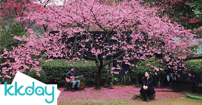 Hoa anh đào ở Yangmingshan, đài bắc, đài loan blog KKday Việt Nam