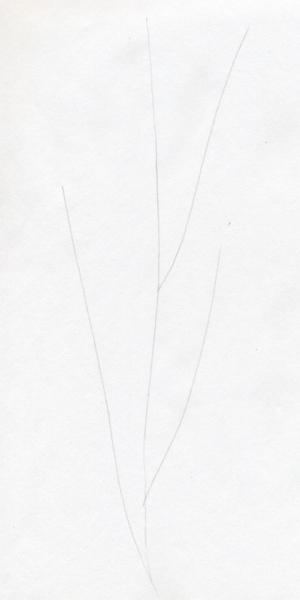Cách vẽ hoa cẩm chướng-1
